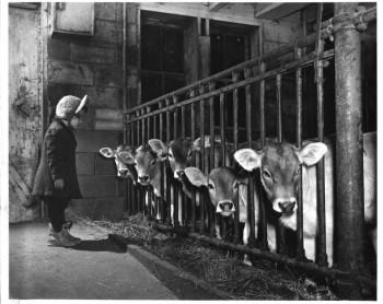 Little girl with five cows in barn, Vesper, Wisconsin, ca. 1950.